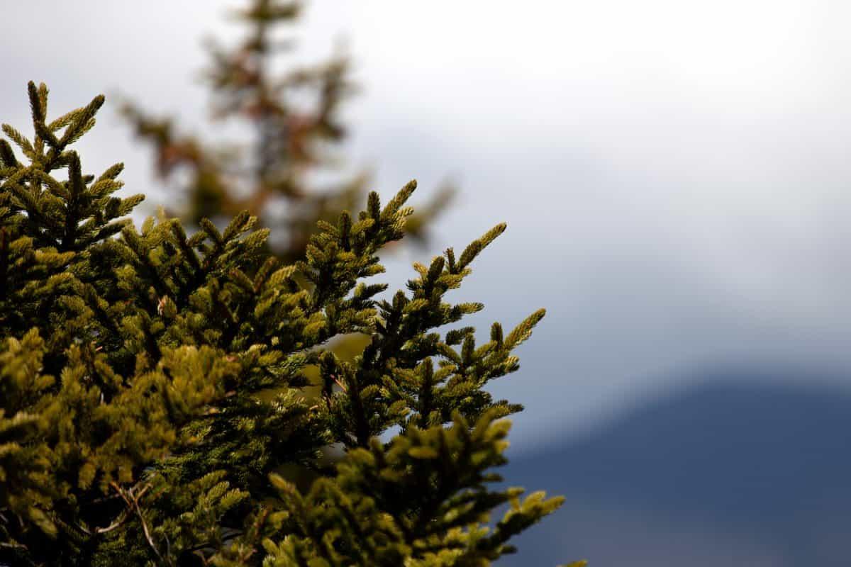 arbre, nature, flore, feuille, plante, pins, ciel, extérieur, conifères