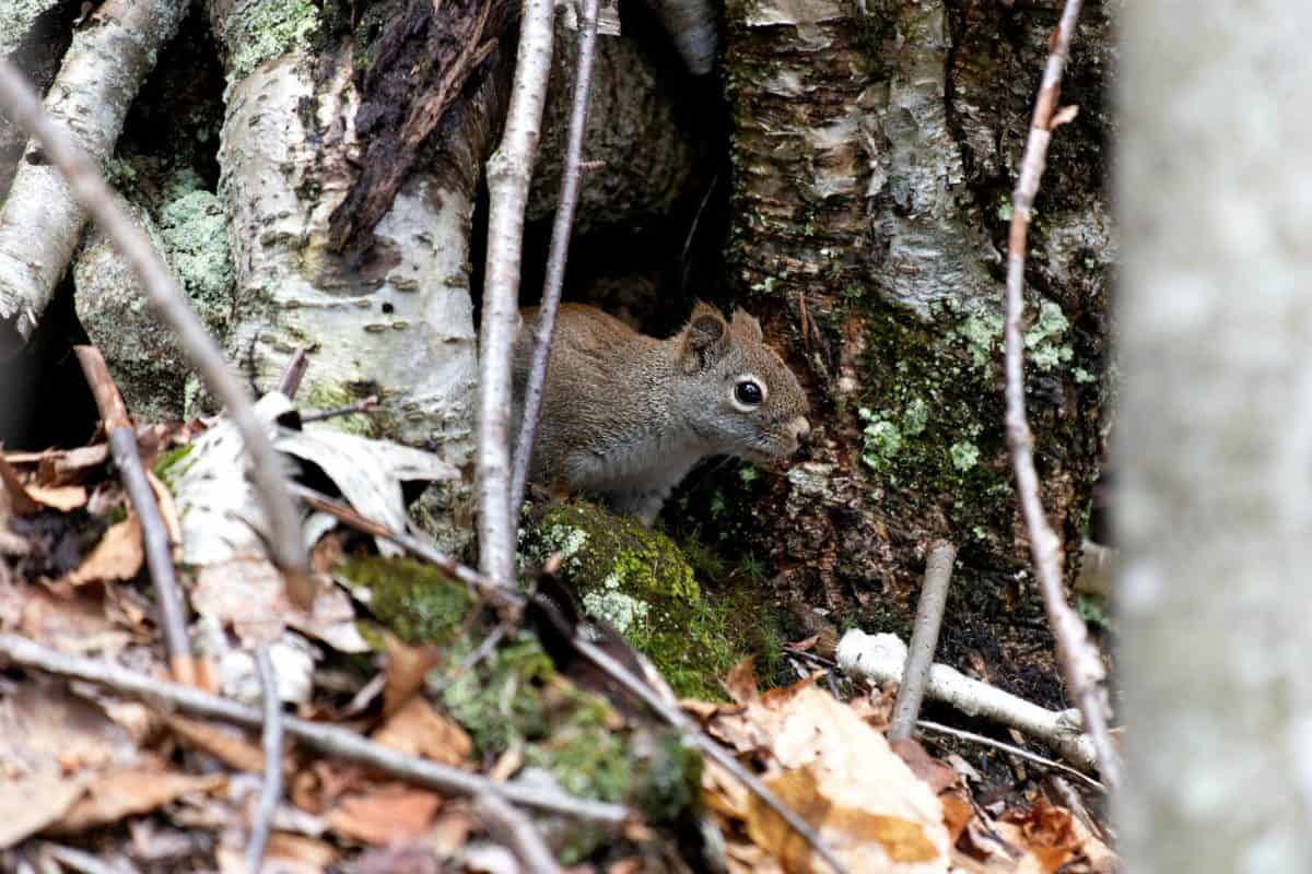 nature, wood, tree, wildlife, rodent, wild, squirrel, tail