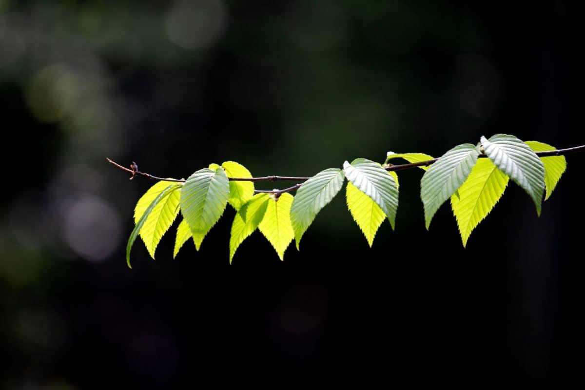 зелени листа, флора, природа, дърво, лято, Градина
