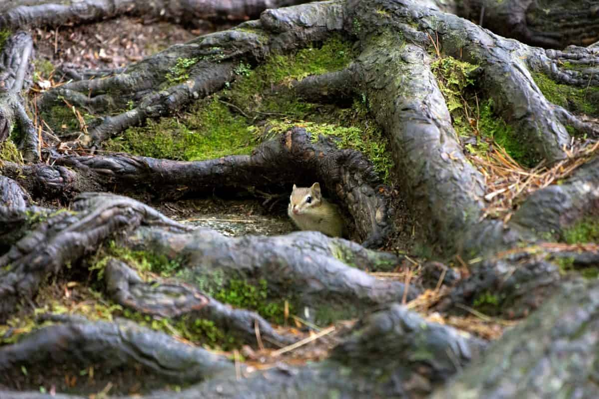 squirrel, environment, wood, moss, tree, nature, outdoor