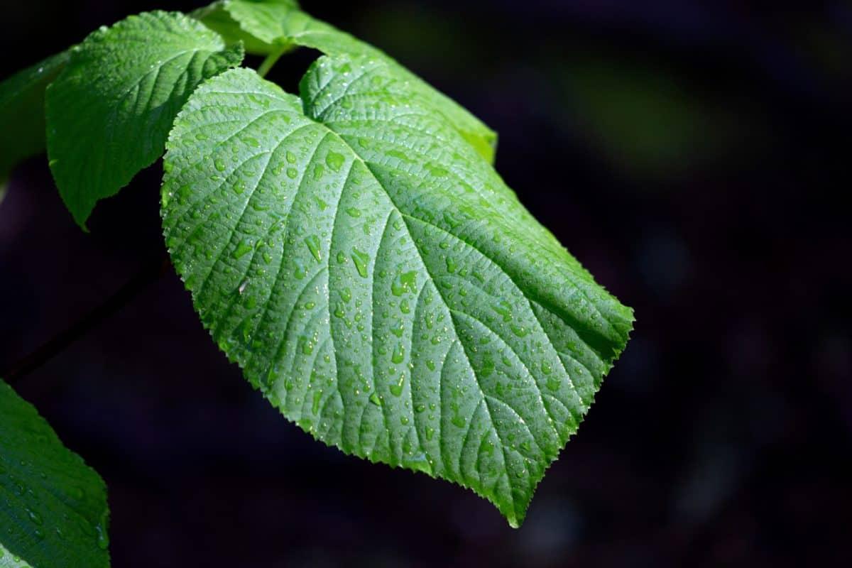 olmo, hoja verde, naturaleza, flora