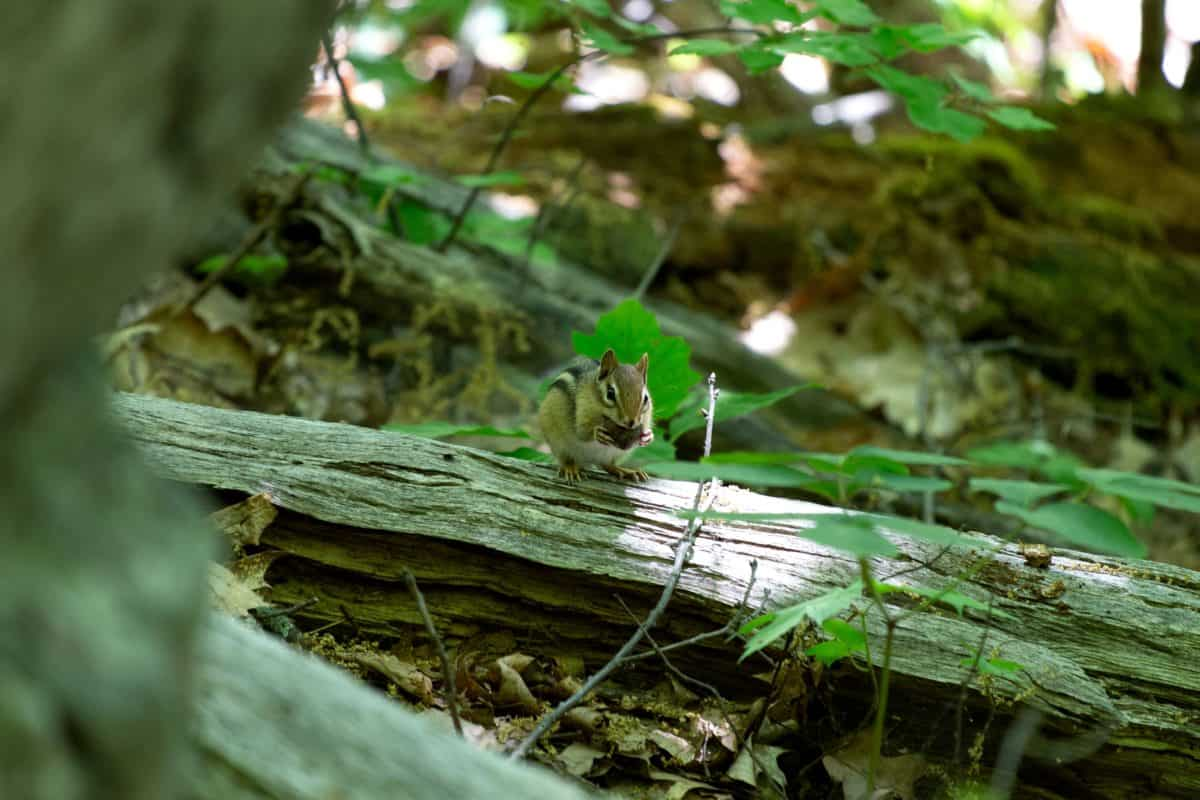 squirrel, wildlife, tree, leaf, wood, nature, outdoor, animal