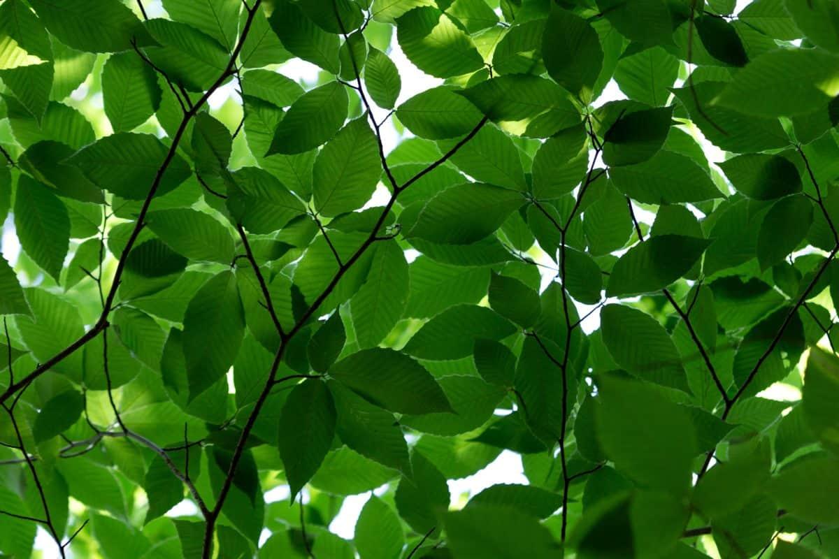 grønne blad, skygge, miljø, natur, flora, anlegg, tre, skog, løvverk