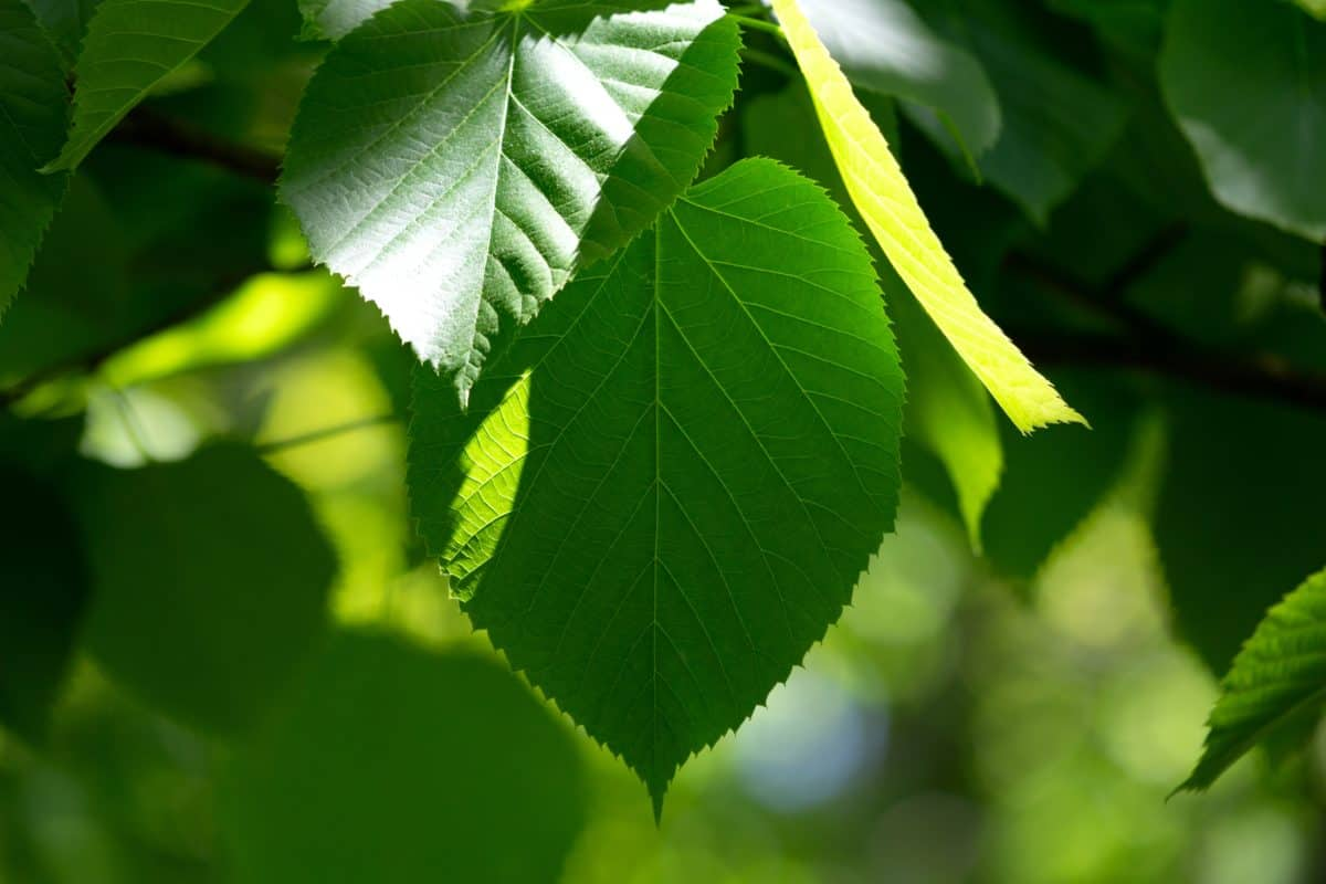 Umwelt, Sommer, Blatt, Schatten, Natur, Pflanzen, Baum, grün, im freien