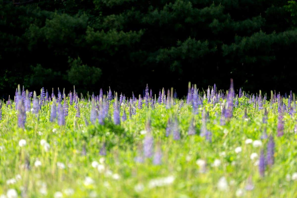 lupine, flower, summer, grass, nature, field, herb, lavender