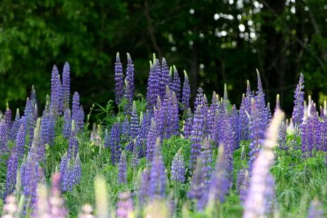 lupine, meadow, field, flower, garden, flora, summer, nature, herb, plant