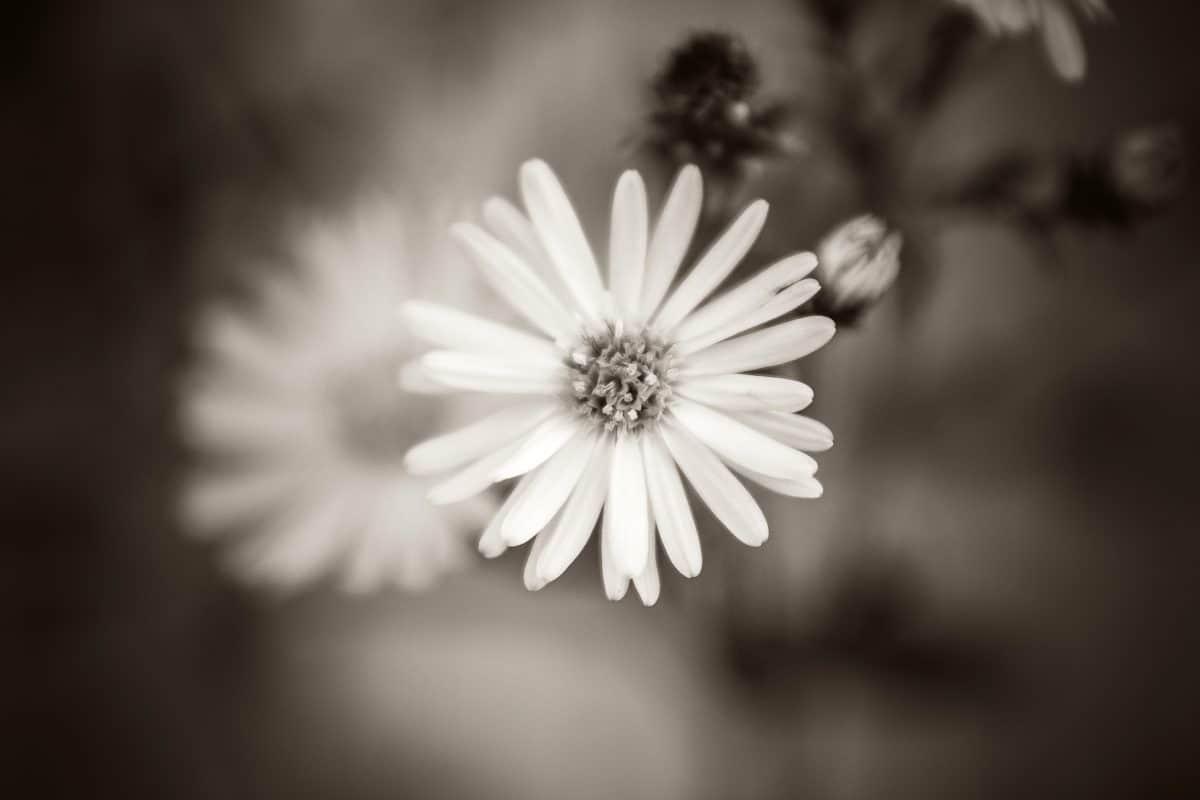 fotomontáž, sépie, černobílý, květ, okvětní, rostlin, flora, letní