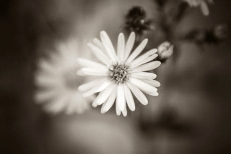 photomontage, sepia, monochrome, flower, petal, plant, flora, summer