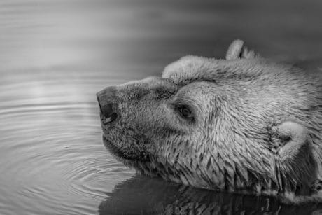 water, wildlife, polar bear, wild, fur, animal, outdoor, monochrome