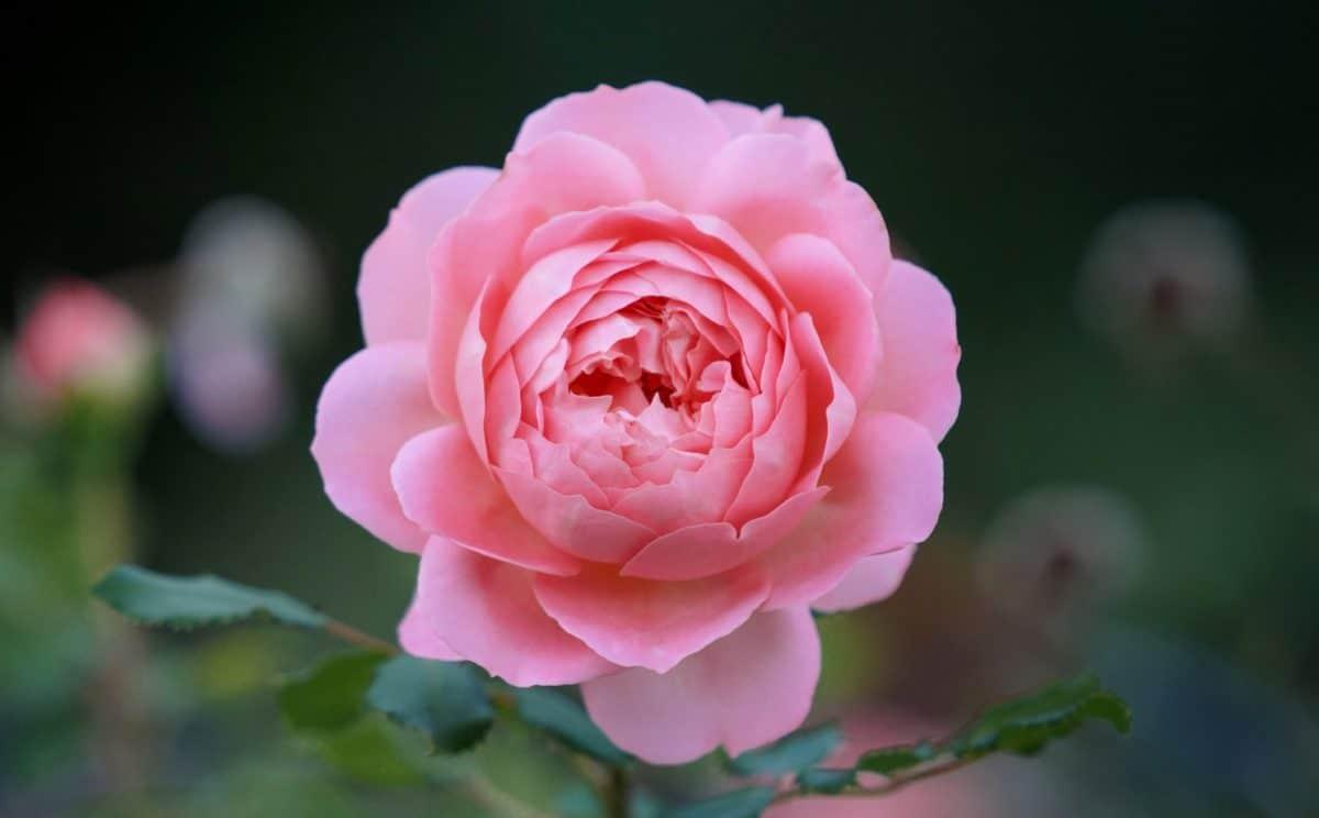 листа, венчелистче, цветя, флора, природа, роза, завод, розово, Блосъм