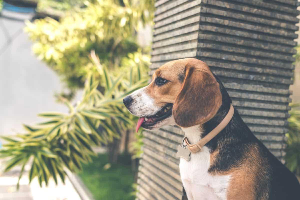 pas, sladak, pasji, slatka, pas, štene, psić, smeđa