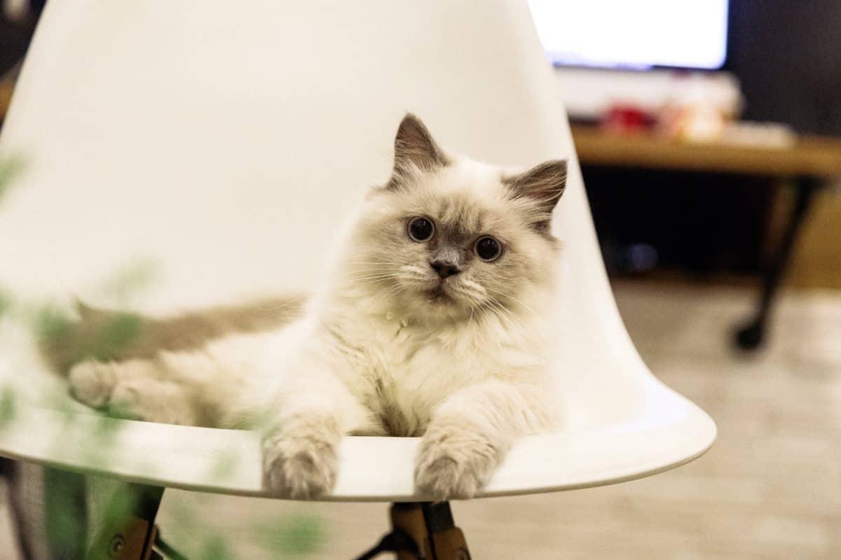 Портрет, бяла котка, коте, котешки, мебели, животно, кожа, Кити, сладък
