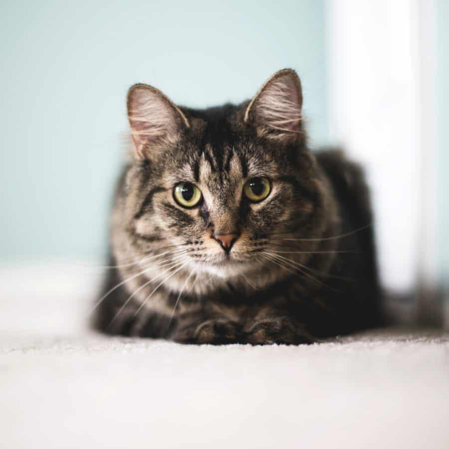 Niedlich, Katze, Kätzchen, Haustier, Porträt, Fell, Augen, Tier, Katze