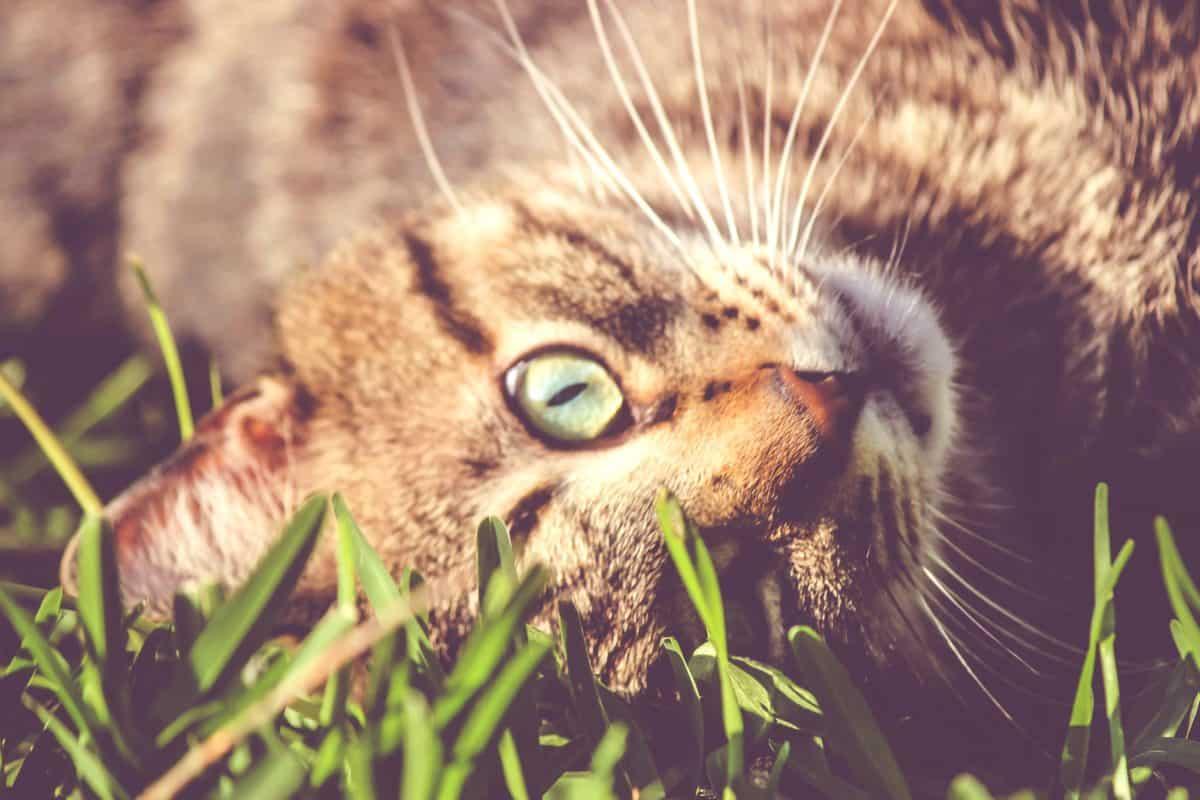 дивата природа, животински, сладък, характер, котка, котешки, кожа, Зелената трева, коте