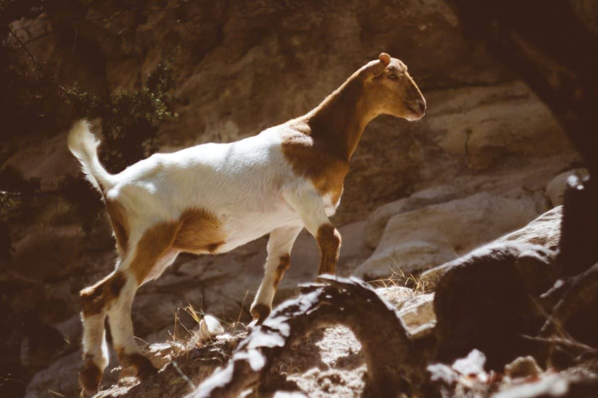 mountain goat, brown, hound, stone, wildlife, animal, zoology