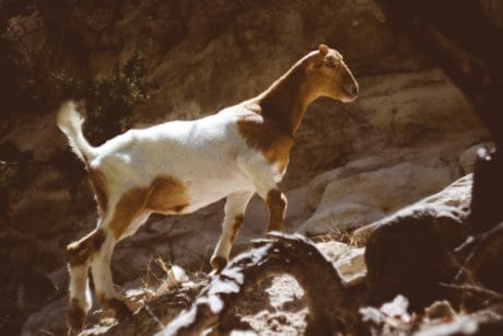 mountain goat, brown, hound, stone, wildlife, animal, zoology