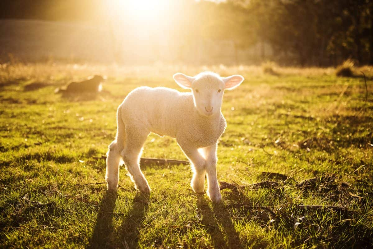 agneau, mouton, champ, agriculture, élevage, herbe, animal, boeuf