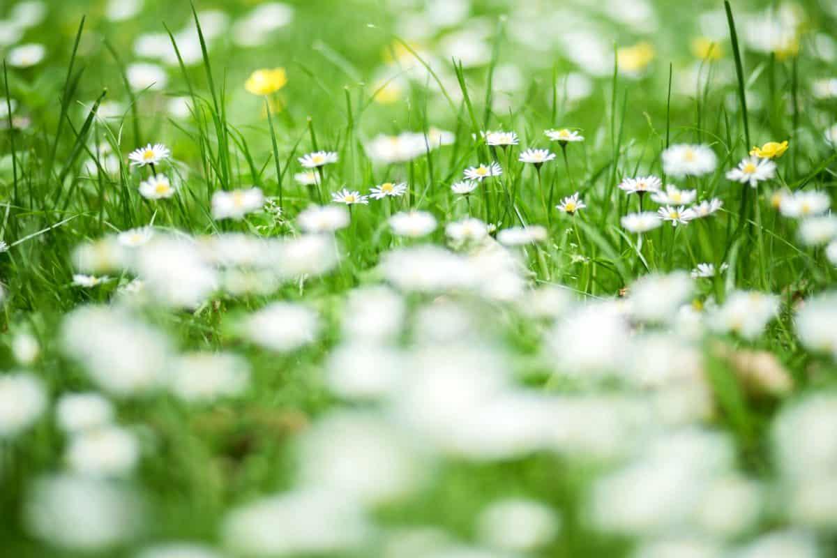 daisy, lawn, flower, field, nature, garden, green grass, flora, summer