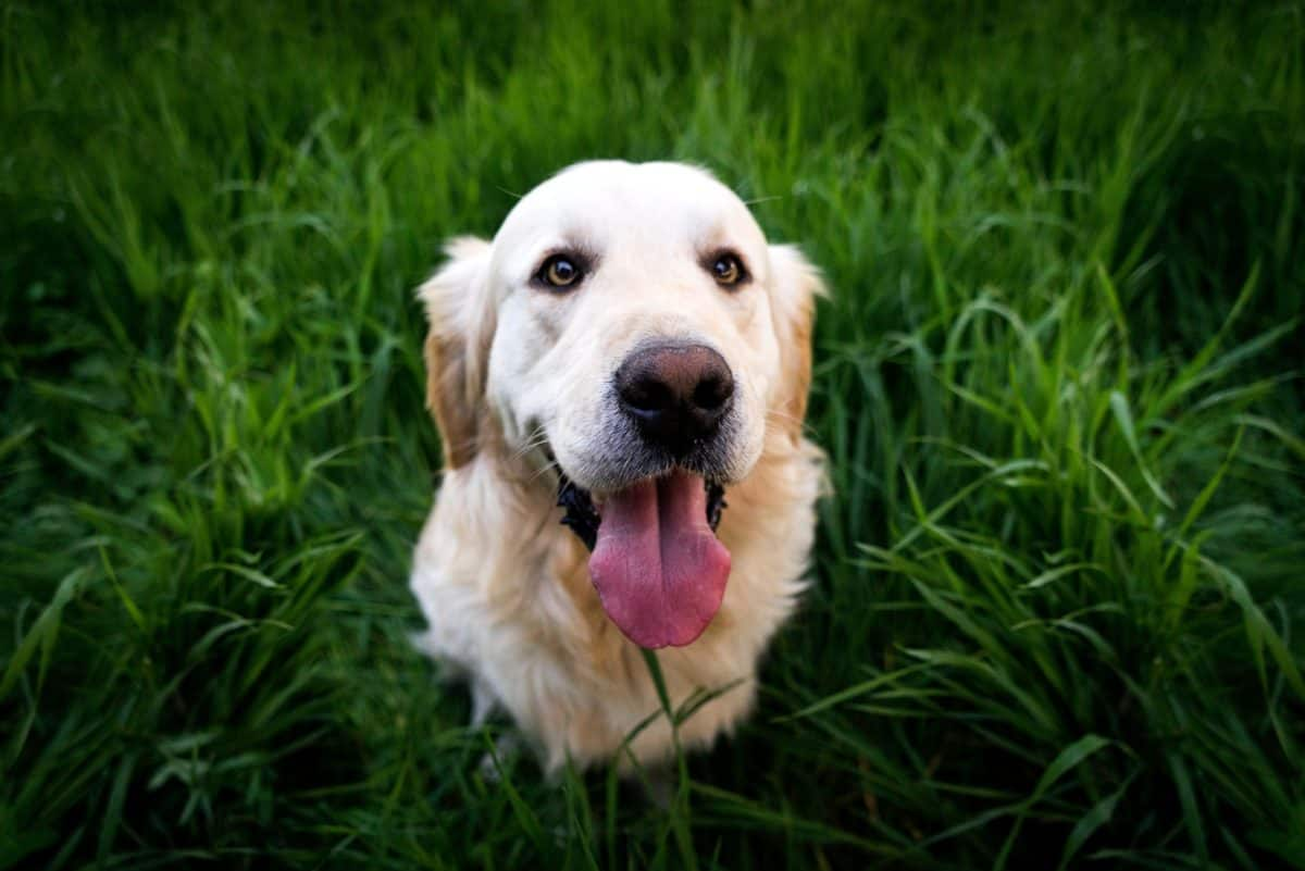 portrait, tongue, dog, cute, green grass, pet, canine, puppy, outdoor