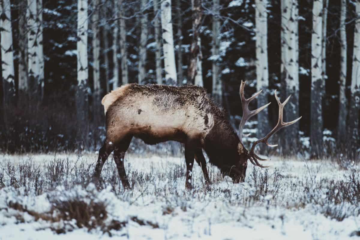 сняг, елени, диви животни, еленов рог, елени, дърво, лоса, зима