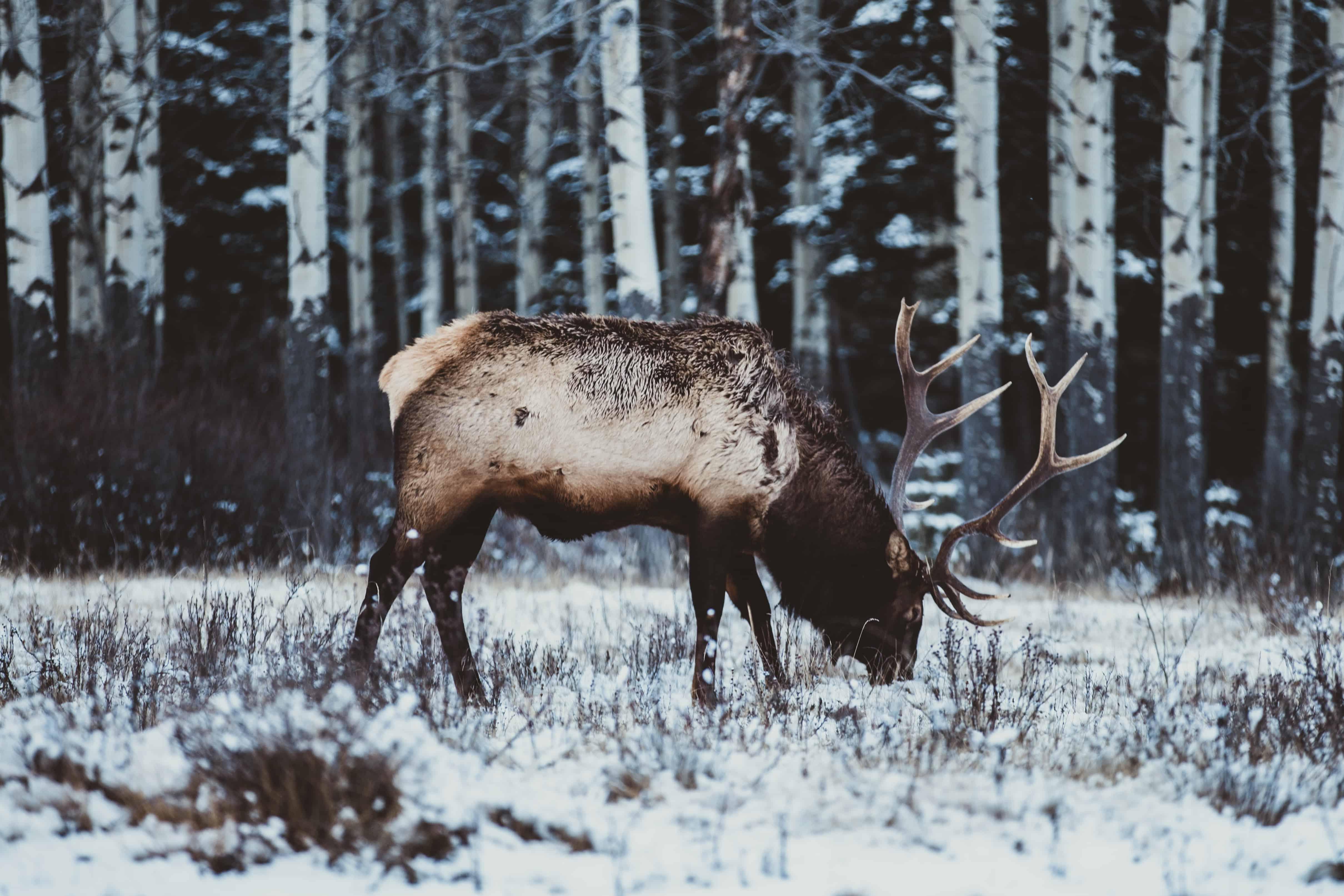 Лось в снегу картинки