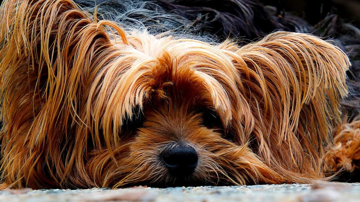 dog, animal pet, animal, terrier, canine, cute, brown