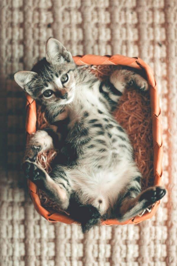gato del animal doméstico, animal, lindo, gatito, felino, joven, piel, kitty