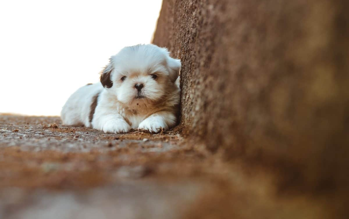 cute, dog, canine, pet, puppy, adorable, fur, indoor