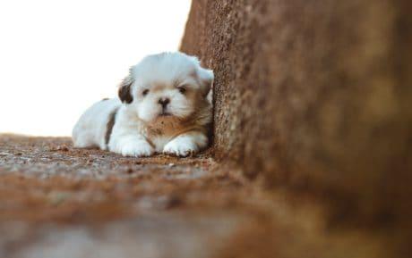 lindo, perro, canino, mascotas, piel adorable, Cachorro, interior
