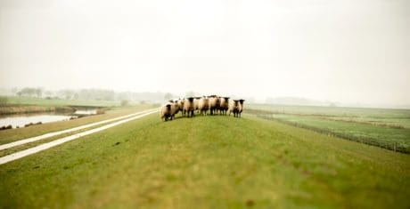 sheep, livestock, animal, farmland, agriculture, grass, landscape, field, countryside