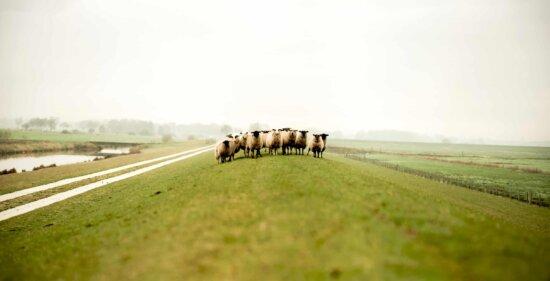 sheep, livestock, animal, farmland, agriculture, grass, landscape, field, countryside