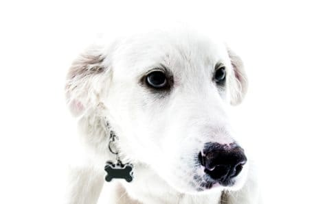 white dog, canine, cute, portrait, animal, puppy, adorable