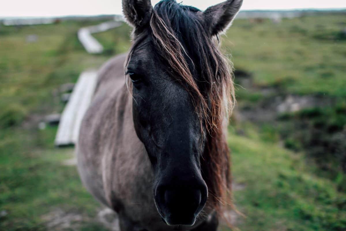 Grass, Natur, Feld, Kavallerie, Tier, Pferd, Pferde, Wirbeltier