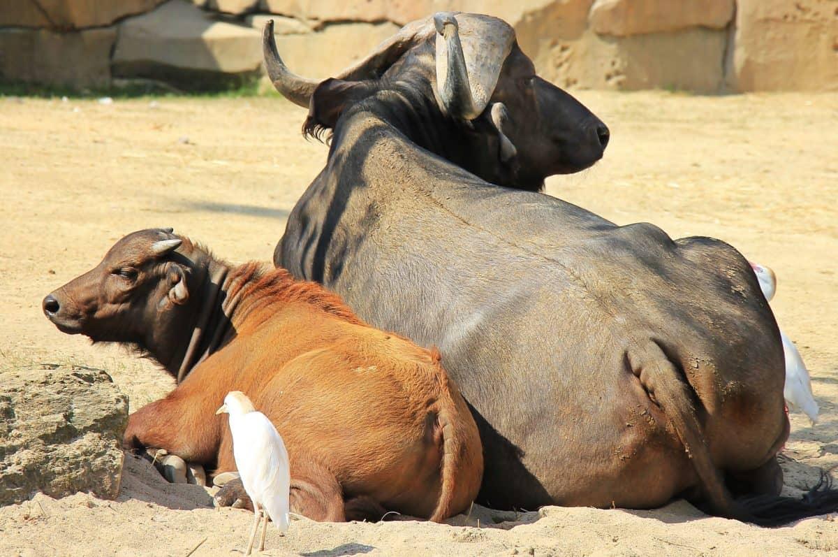 Tier, Kuh, Kopf, Horn, Stier, Rind, Vogel, Sand, Bauernhof, Zoologie