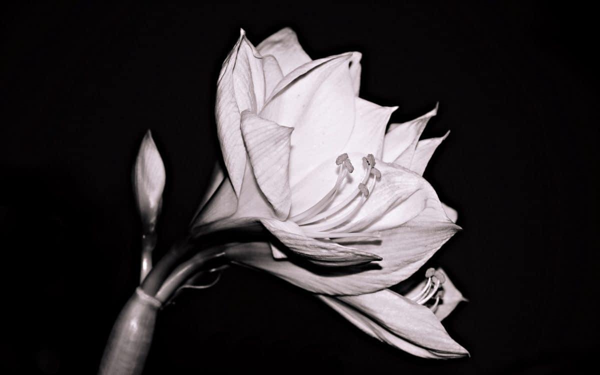 fiore, petalo, monocromatico, nero, pianta, dettaglio