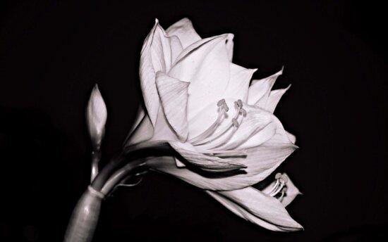 flower, petal, monochrome, black, plant, detail
