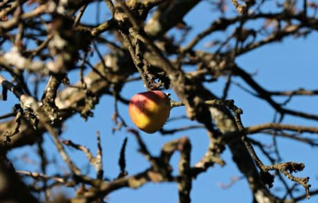 branch, autumn, apple, orchard, fruit, tree, sky