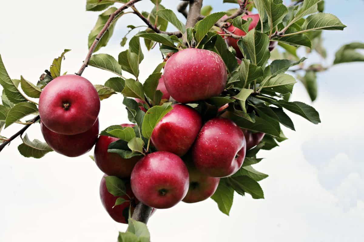 Orchard, ovoce, listy, červené jablko, příroda, jídlo, větev, modrá obloha