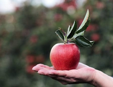 red apple, orchard, hand, still life, fruit, food, nature, leaf, delicious, person
