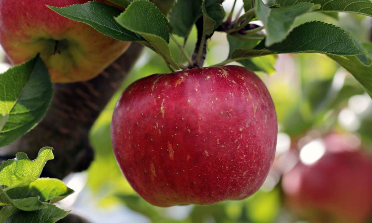 Orchard, výživy, listy, ovoce, příroda, výborné, jídlo, červené jablko