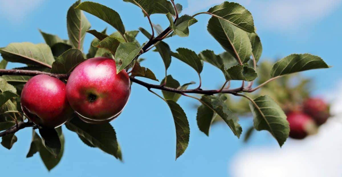 Huerta, árbol, fruta, naturaleza, hoja, comida, manzana roja, rama, agricultura