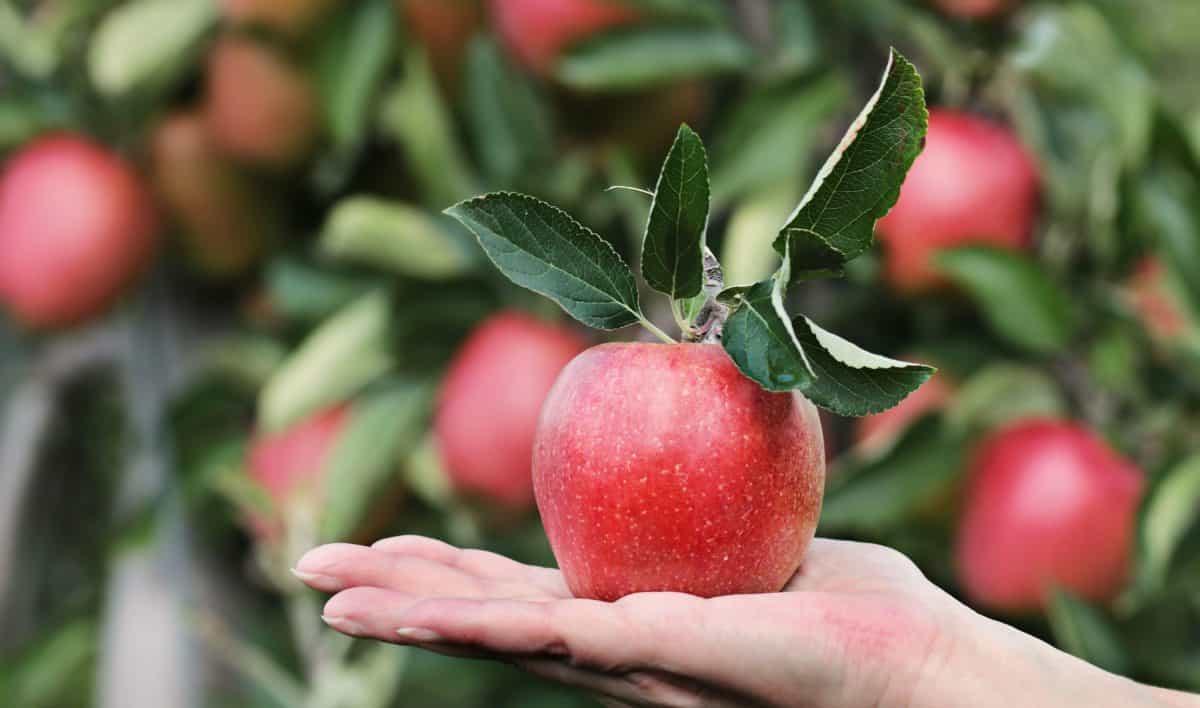 comida, mano, naturaleza, huerto, hoja, fruto, persona, agricultura, apple