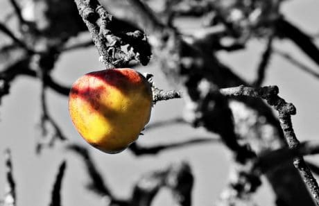 photomontage, orchard, apple, fruit, wood, branch, monochrome, garden