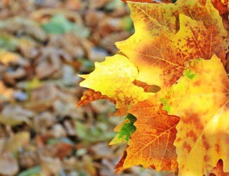 флора, природа, жълти листа, есен, дърво, дъб, гора, растение, листа