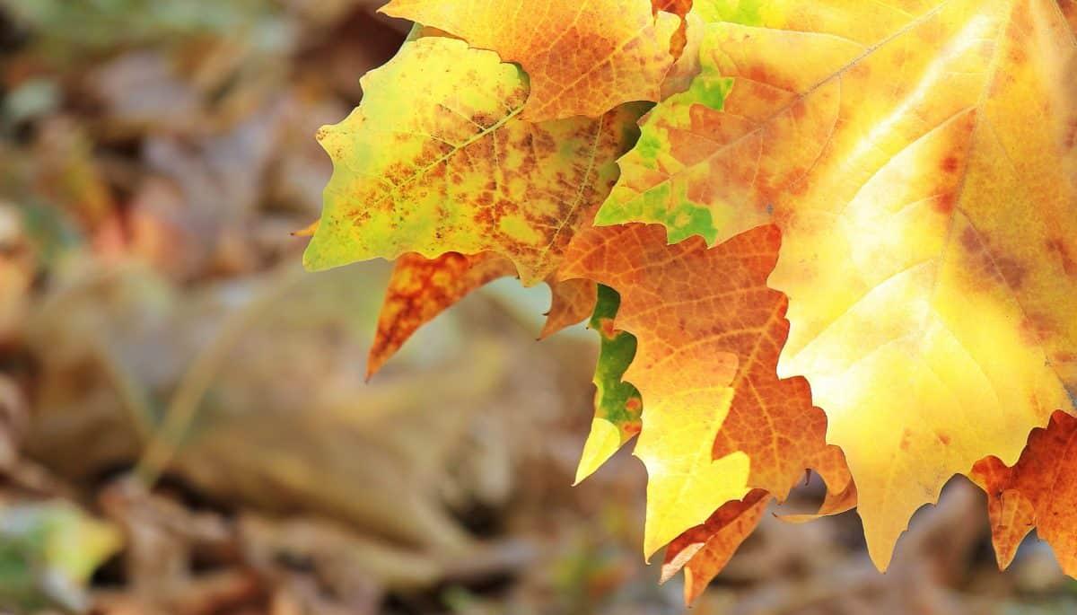 arbre, nature, flore, feuille jaune d'automne, parc de wood,