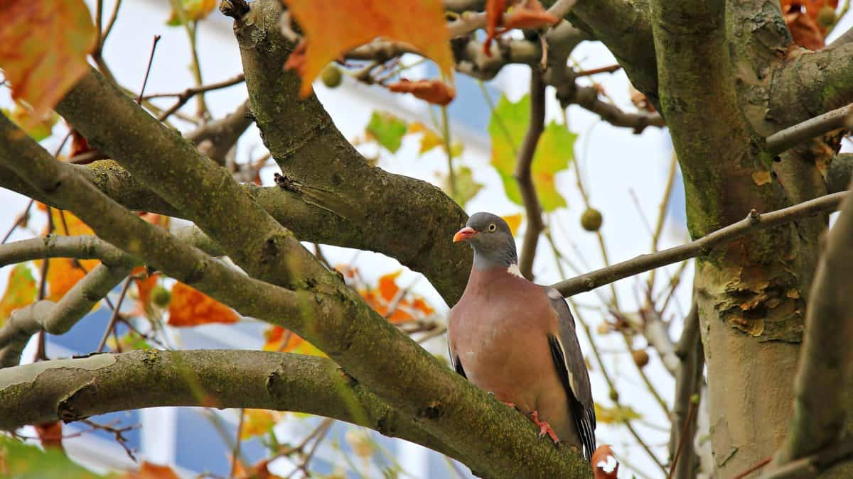 pigeon, wildlife, tree, nature, bird, dove, branch