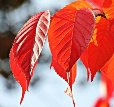 природата, червени листа, през есента, растение, дърво, червено, клон