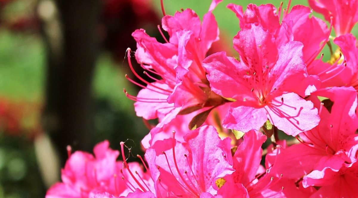 градинарство, лято, флора, Градина, венчелистче, листа, природа, цветя, розово