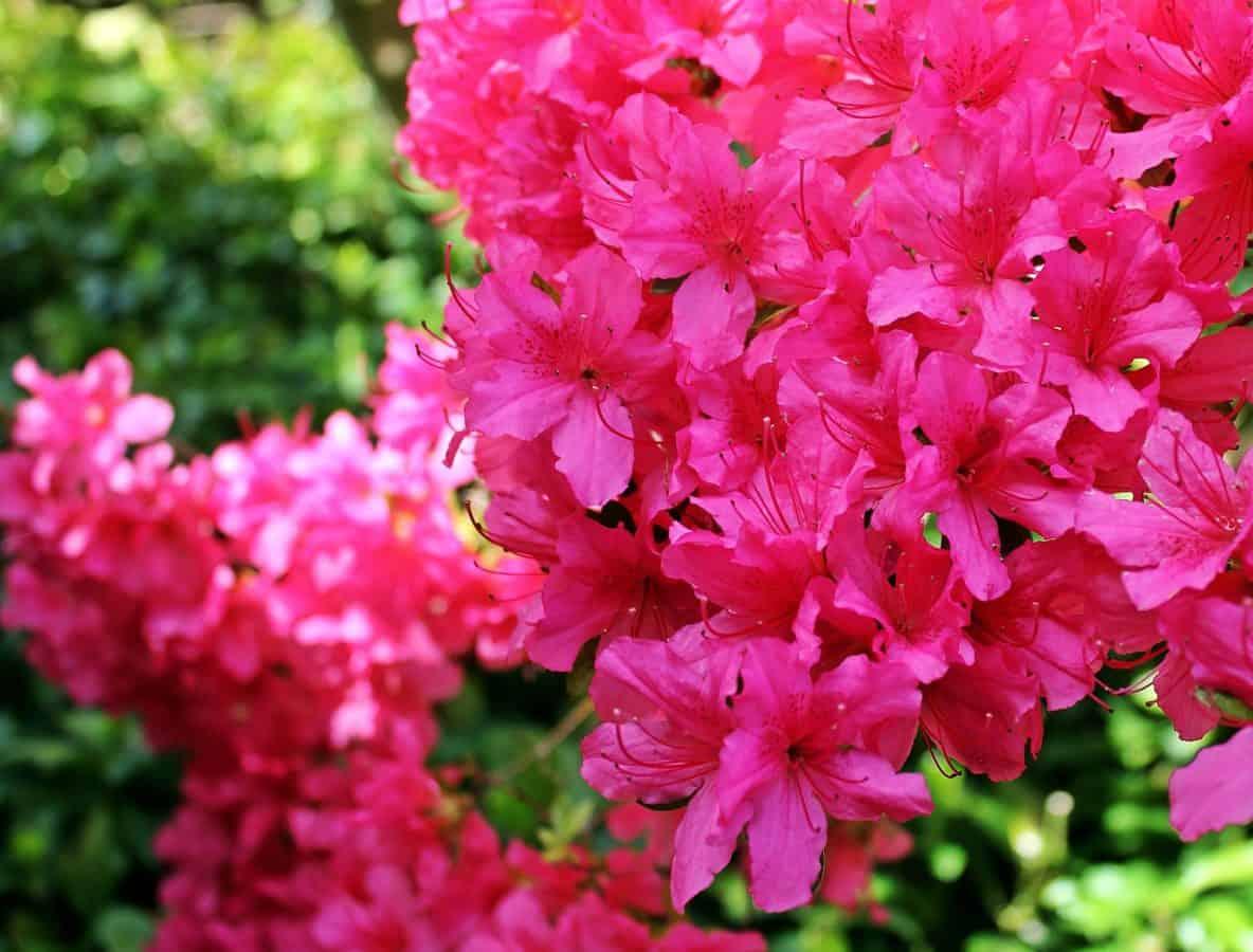 summer, petal, garden, leaf, red flower, nature, beautiful, flora
