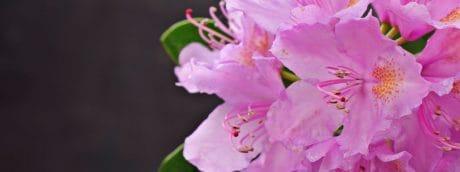 latica, tučak, vrt, ružičasti cvijet, list, floru, priroda, biljke